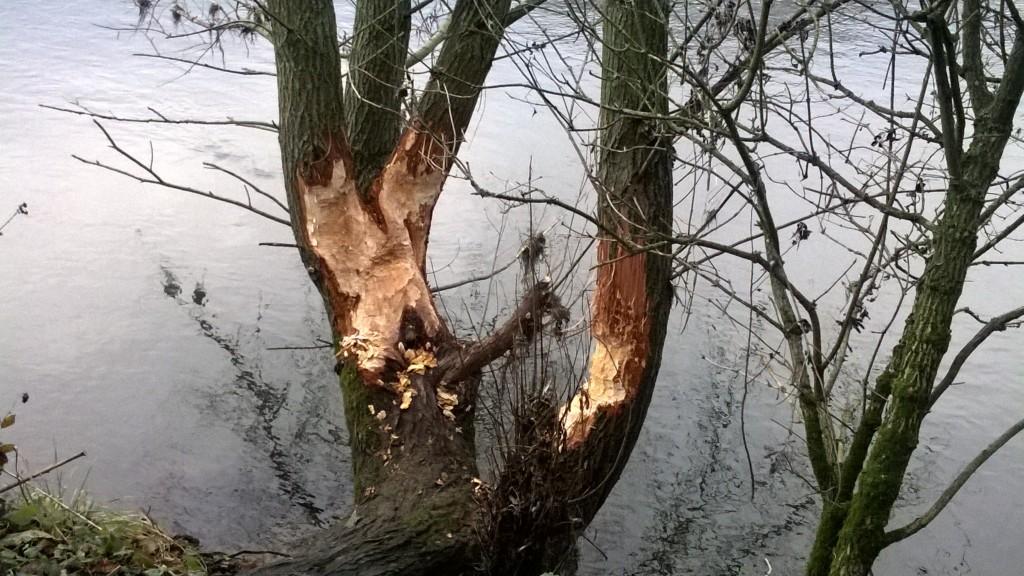 Biberspuren_Leine